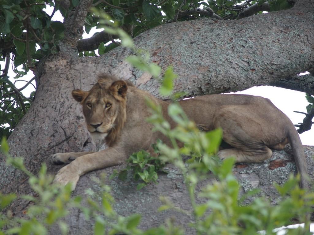 uganda tree climbing lion ishasha